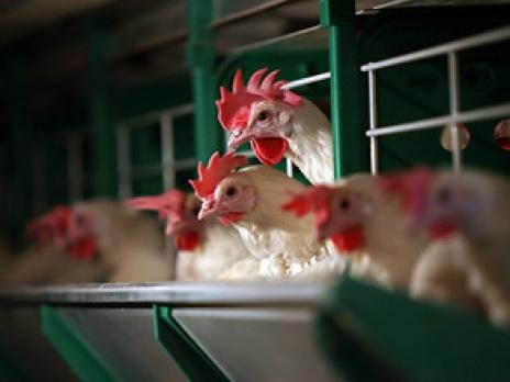 Снижение квот на поставку куриного мяса